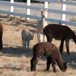 08-alpaca-california