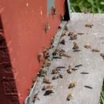 05_bee_landing_guarding