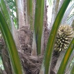 02 unripe palm fruit