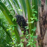 03 ripe palm fruit